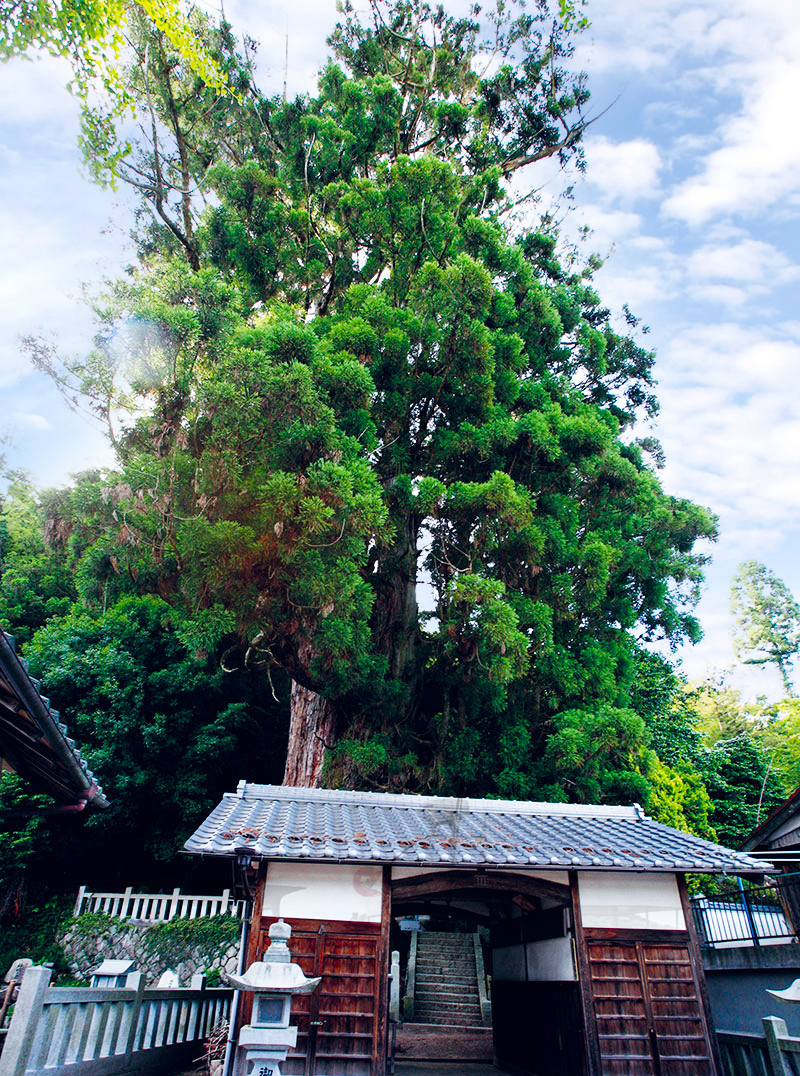大湫宿 パワースポット 神明神社の大杉 大湫町コミュニティ推進協議会