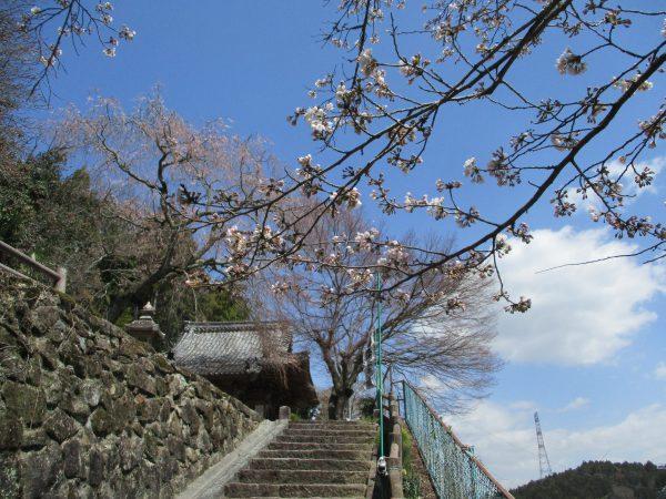 3分咲きとなったソメイヨシノ