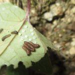 カンアオイの葉裏に潜むギフチョウの幼虫