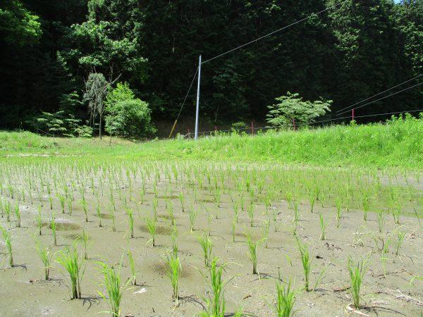 みんなの農園で田植え体験により植えた苗が育っています