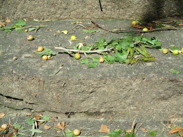 石段に散乱するイチョウの実