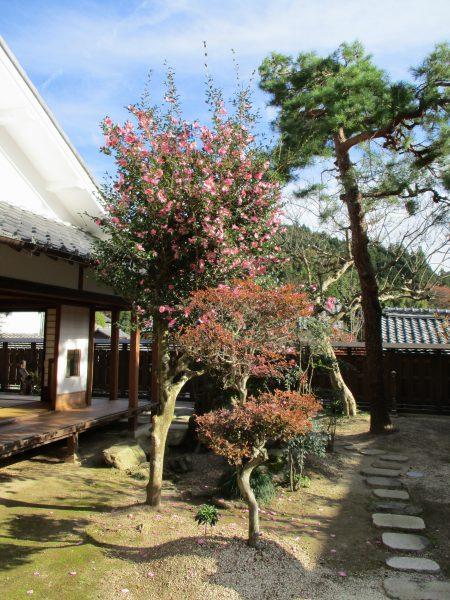 丸森邸の庭に咲くサザンカ