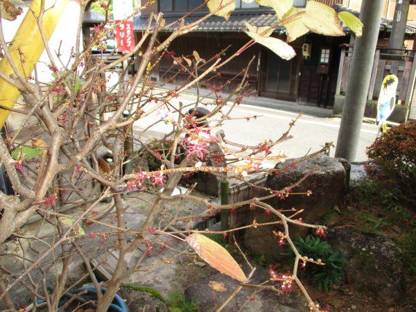 白山神社横小公園に咲くベニマンサク