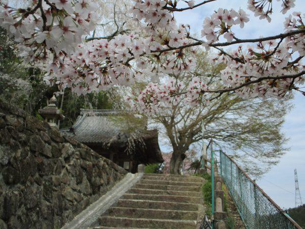 観音堂への階段では、ソメイヨシノの花びら舞う